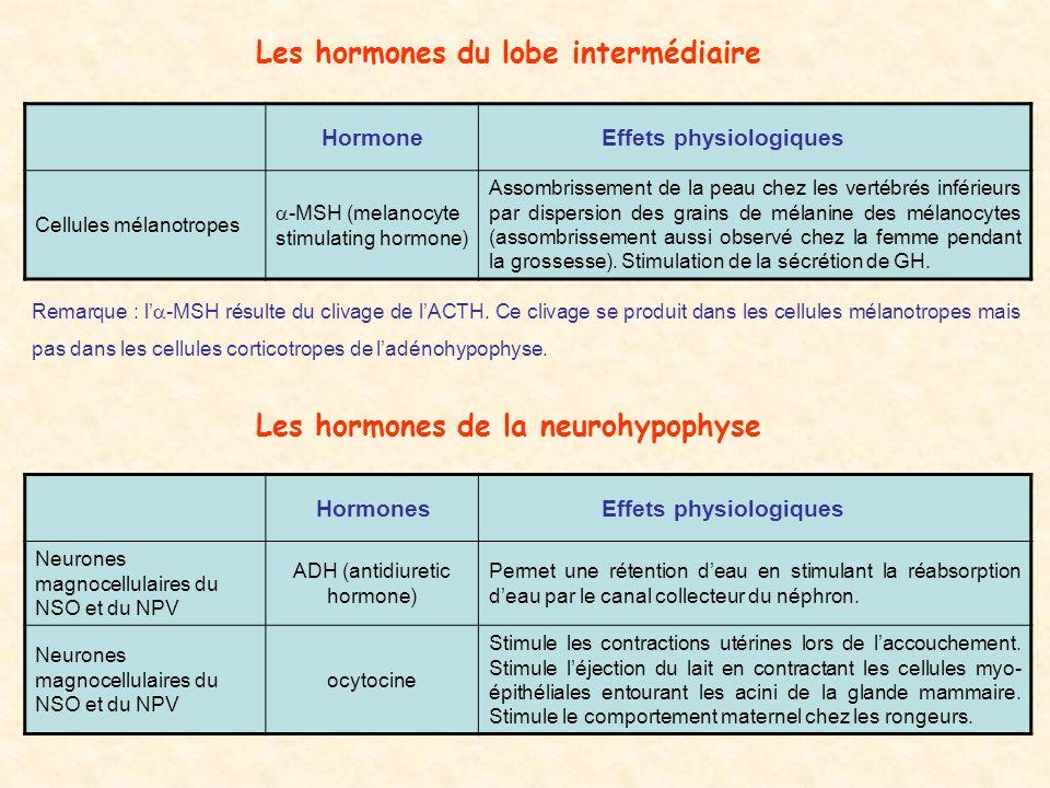 Les hormones du lobe intermédiaire Hormone Effets physiologiques Cellules mélanotropes -MSH (melanocyte stimulating hormone) Assombrissement de la peau chez les vertébrés inférieurs par dispersion des grains de mélanine des mélanocytes (assombrissement aussi observé chez la femme pendant la grossesse).