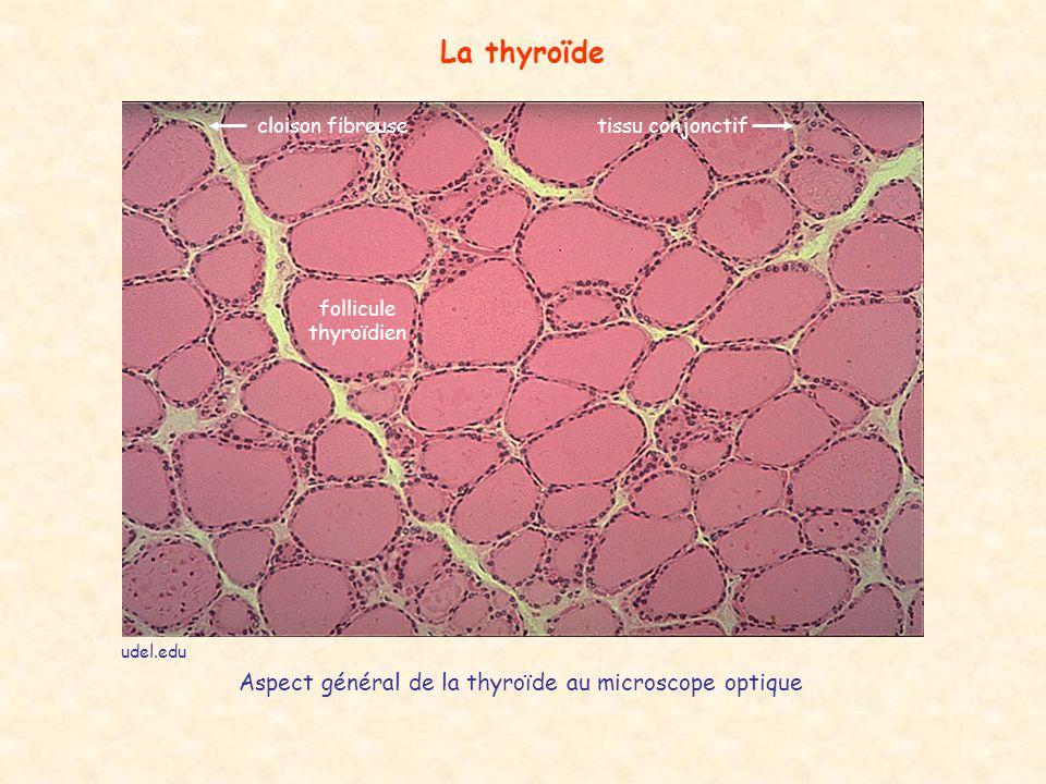 udel.edu La thyroïde cloison fibreusetissu conjonctif follicule thyroïdien Aspect général de la thyroïde au microscope optique