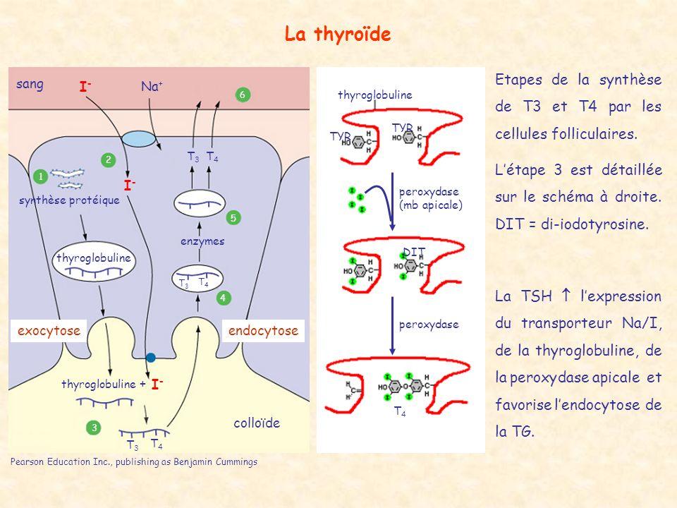 La thyroïde Etapes de la synthèse de T3 et T4 par les cellules folliculaires.
