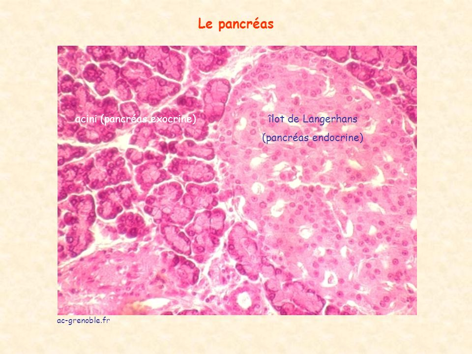 ac-grenoble.fr Le pancréas îlot de Langerhans (pancréas endocrine) acini (pancréas exocrine)