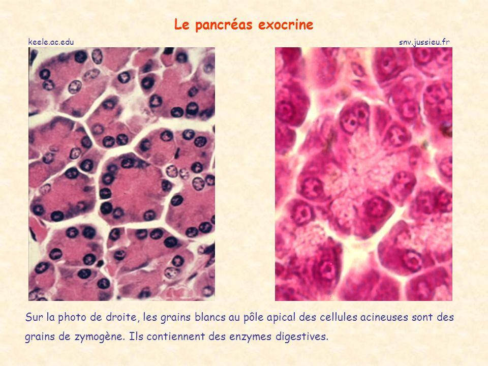 keele.ac.edusnv.jussieu.fr Le pancréas exocrine Sur la photo de droite, les grains blancs au pôle apical des cellules acineuses sont des grains de zymogène.