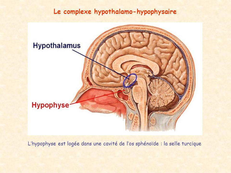 Le complexe hypothalamo-hypophysaire Lhypophyse est logée dans une cavité de los sphénoïde : la selle turcique