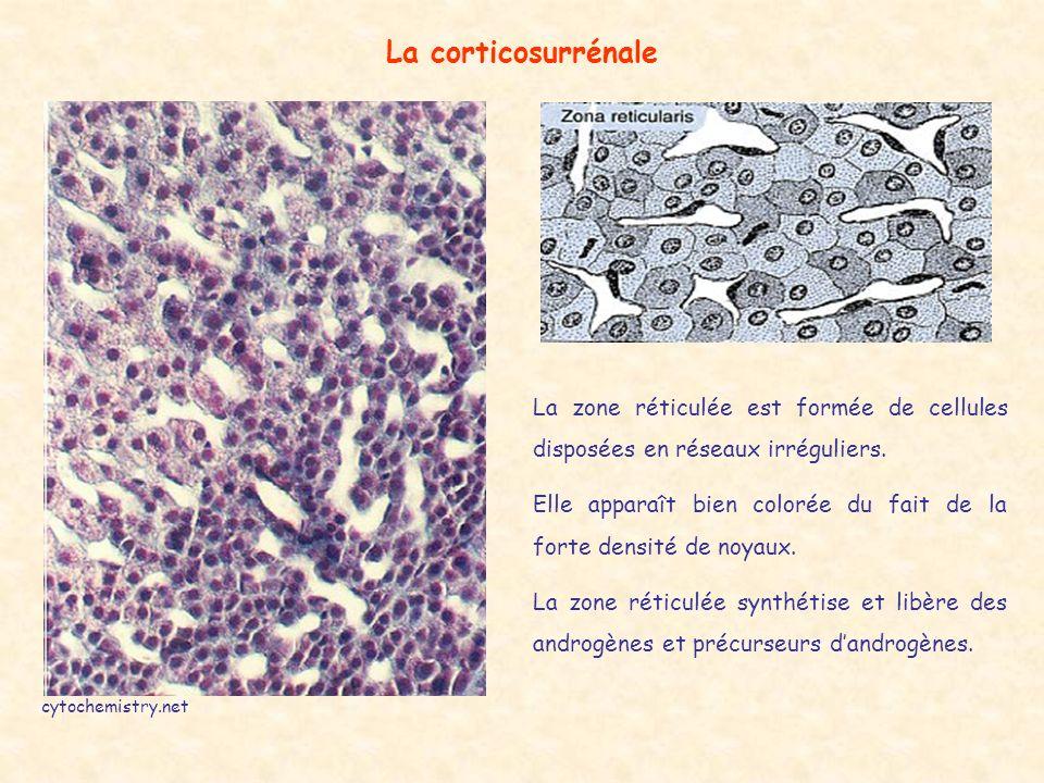 La corticosurrénale cytochemistry.net La zone réticulée est formée de cellules disposées en réseaux irréguliers.
