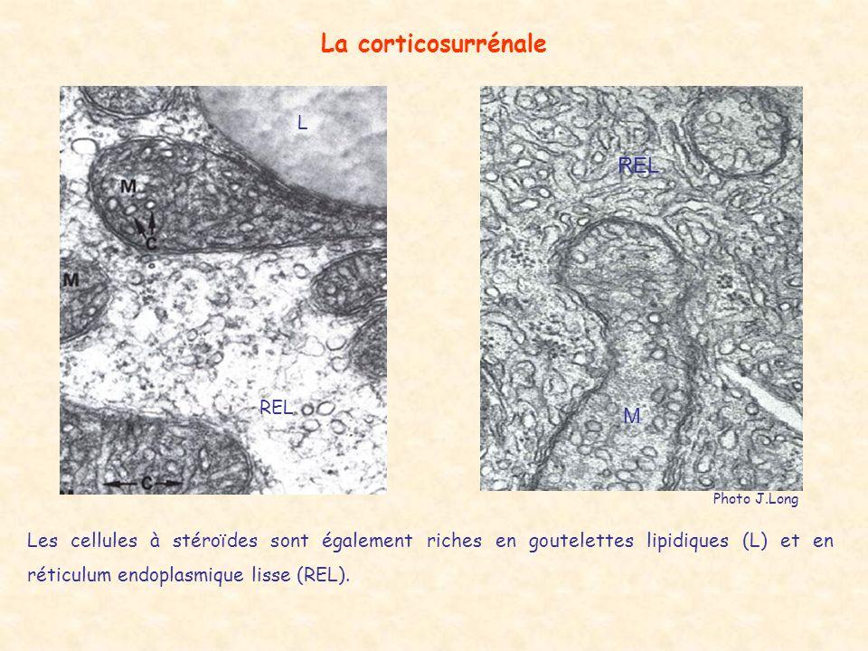 Les cellules à stéroïdes sont également riches en goutelettes lipidiques (L) et en réticulum endoplasmique lisse (REL).