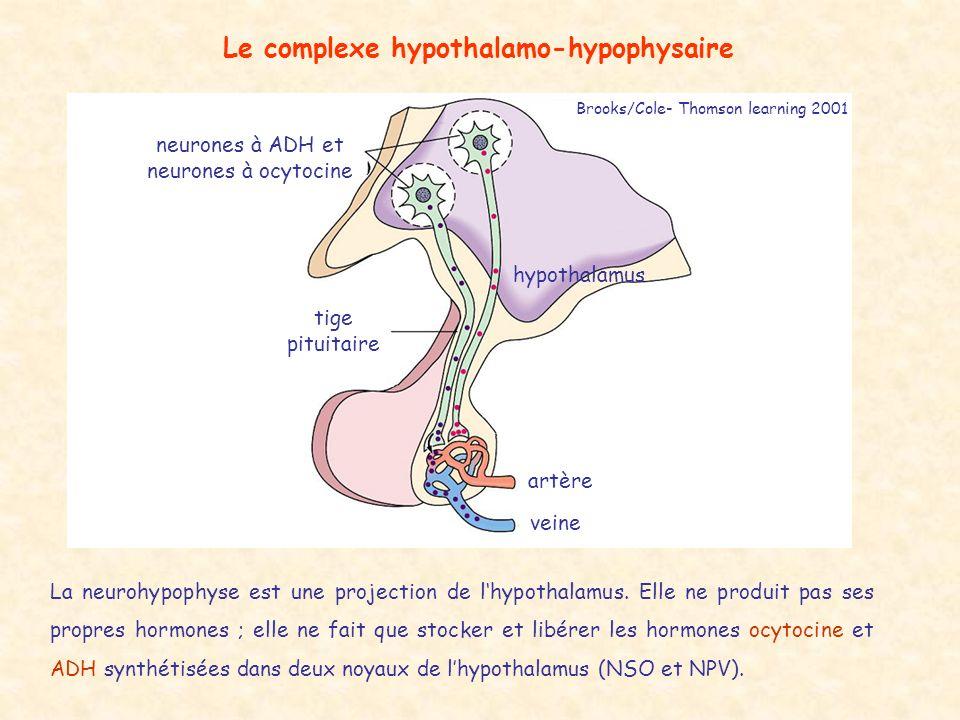Le complexe hypothalamo-hypophysaire neurones à ADH et neurones à ocytocine tige pituitaire artère veine hypothalamus La neurohypophyse est une projection de lhypothalamus.