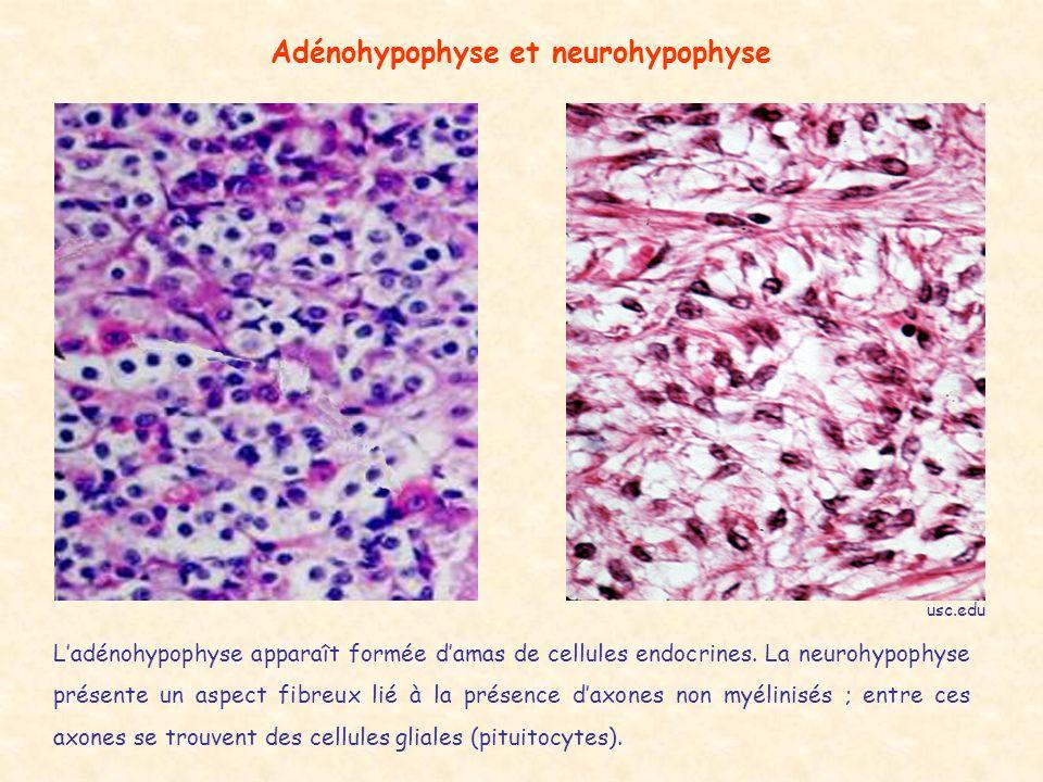 Adénohypophyse et neurohypophyse Ladénohypophyse apparaît formée damas de cellules endocrines.