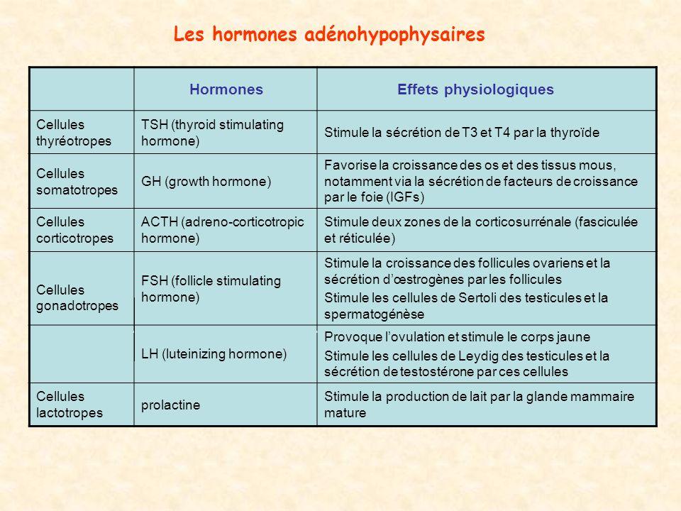 Les hormones adénohypophysaires Hormones Effets physiologiques Cellules thyréotropes TSH (thyroid stimulating hormone) Stimule la sécrétion de T3 et T4 par la thyroïde Cellules somatotropes GH (growth hormone) Favorise la croissance des os et des tissus mous, notamment via la sécrétion de facteurs de croissance par le foie (IGFs) Cellules corticotropes ACTH (adreno-corticotropic hormone) Stimule deux zones de la corticosurrénale (fasciculée et réticulée) Cellules gonadotropes FSH (follicle stimulating hormone) Stimule la croissance des follicules ovariens et la sécrétion dœstrogènes par les follicules Stimule les cellules de Sertoli des testicules et la spermatogénèse LH (luteinizing hormone) Provoque lovulation et stimule le corps jaune Stimule les cellules de Leydig des testicules et la sécrétion de testostérone par ces cellules Cellules lactotropes prolactine Stimule la production de lait par la glande mammaire mature