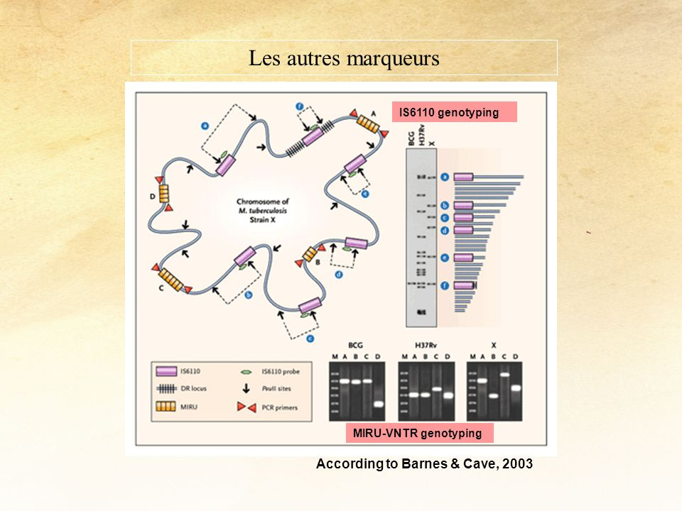 According to Barnes & Cave, 2003 IS6110 genotyping MIRU-VNTR genotyping Les autres marqueurs