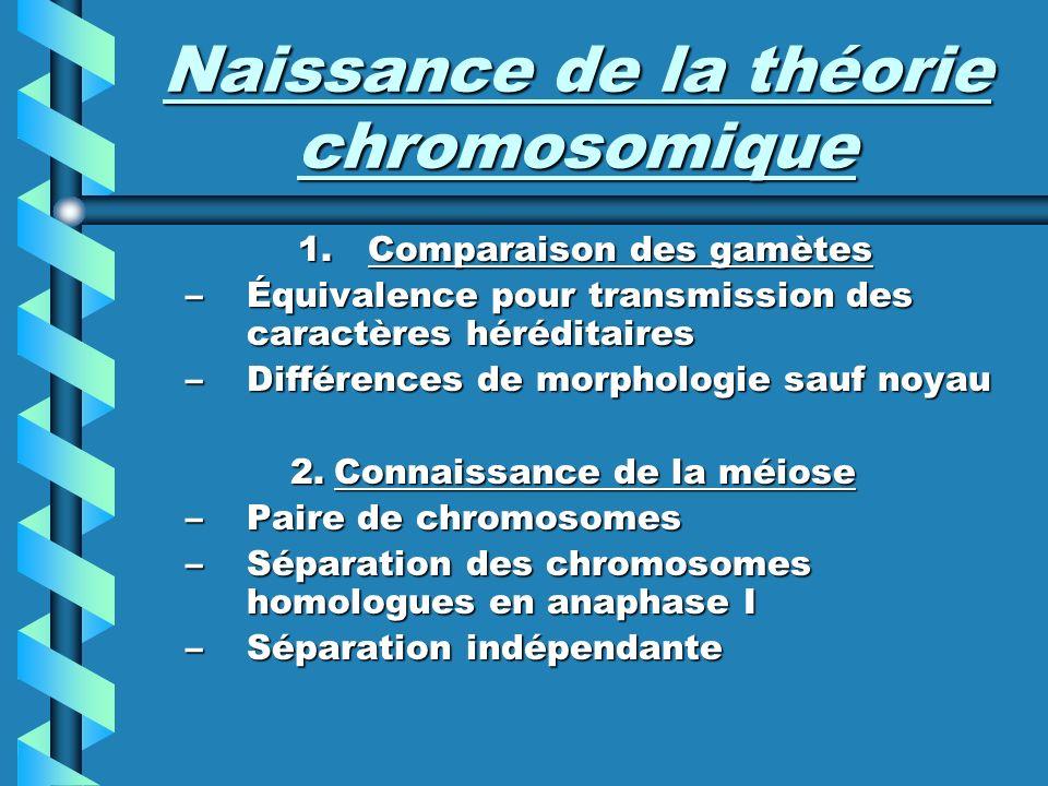 Naissance de la théorie chromosomique 1.Comparaison des gamètes –Équivalence pour transmission des caractères héréditaires –Différences de morphologie sauf noyau 2.Connaissance de la méiose –Paire de chromosomes –Séparation des chromosomes homologues en anaphase I –Séparation indépendante