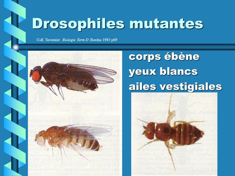 Drosophiles mutantes corps ébène corps ébène yeux blancs yeux blancs ailes vestigiales ailes vestigiales Coll.