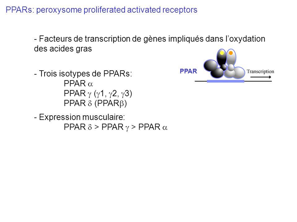 PPAR PPARs: peroxysome proliferated activated receptors - Trois isotypes de PPARs: PPAR PPAR ( 1, 2, 3) PPAR (PPAR ) - Expression musculaire: PPAR > P