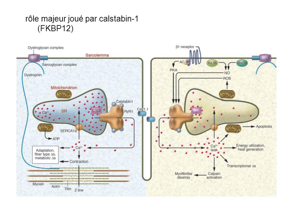 rôle majeur joué par calstabin-1 (FKBP12)