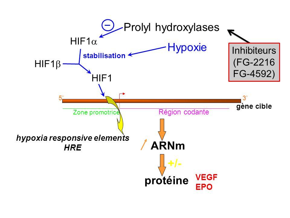 gène cible Zone promotrice Région codante 53 ARNm protéine VEGF EPO +/- Hypoxie stabilisation HIF1 hypoxia responsive elements HRE HIF1 Prolyl hydroxy