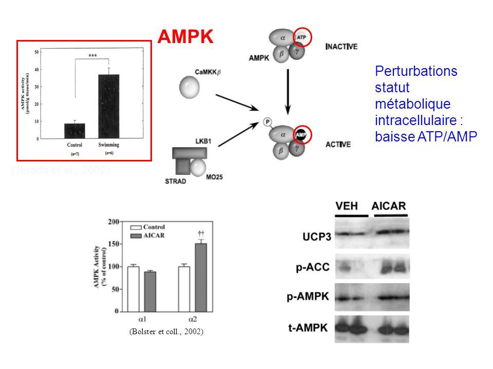 AMPK Perturbations statut métabolique intracellulaire : baisse ATP/AMP (Terada et al., 2002) (Bolster et coll., 2002)