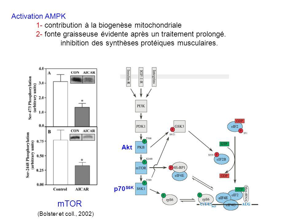 Akt p70 S6K mTOR (Bolster et coll., 2002) Activation AMPK 1- contribution à la biogenèse mitochondriale 2- fonte graisseuse évidente après un traiteme