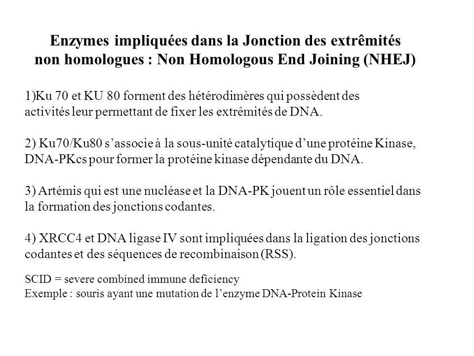 Enzymes impliquées dans la Jonction des extrêmités non homologues : Non Homologous End Joining (NHEJ) 1)Ku 70 et KU 80 forment des hétérodimères qui p