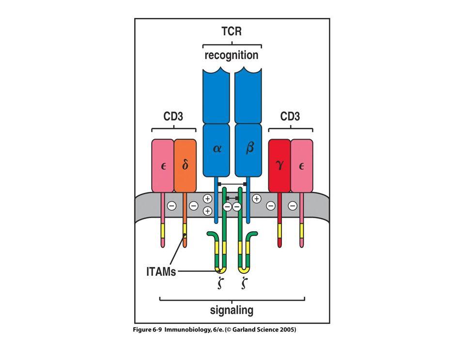 Kuhns MS. et al.Immunity 24 : 133-139 (2006 ) Complexes TCR/CD3