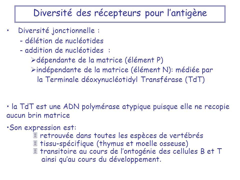 Diversité jonctionnelle : - délétion de nucléotides - addition de nucléotides : dépendante de la matrice (élément P) indépendante de la matrice (éléme