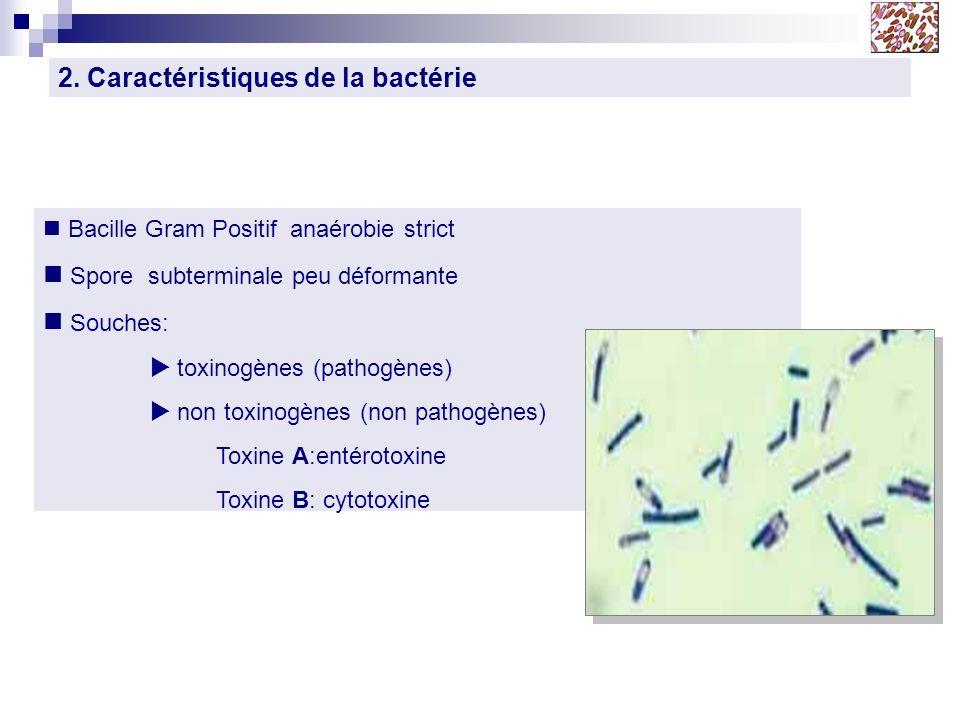 2. Caractéristiques de la bactérie Bacille Gram Positif anaérobie strict Spore subterminale peu déformante Souches: toxinogènes (pathogènes) non toxin