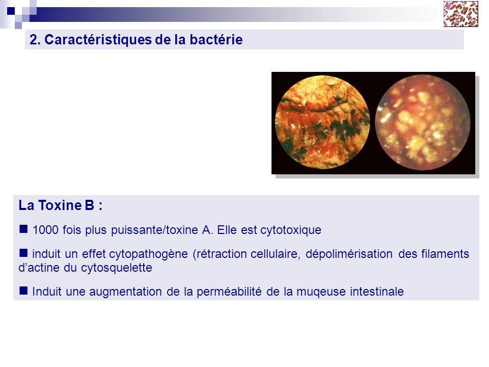 2. Caractéristiques de la bactérie La Toxine B : 1000 fois plus puissante/toxine A. Elle est cytotoxique induit un effet cytopathogène (rétraction cel