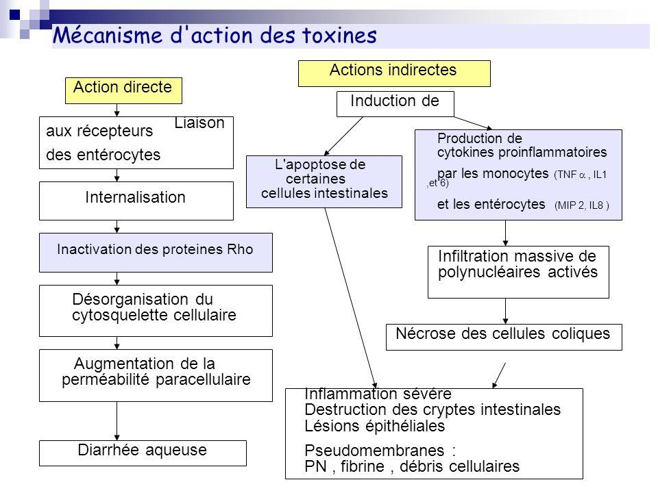 Mécanisme d'action des toxines Liaison aux récepteurs des entérocytes Production de cytokines proinflammatoires par les monocytes (TNF IL1,et 6) et le