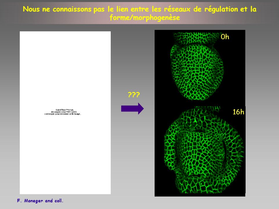 0h 16h F. Moneger and coll. ??? Nous ne connaissons pas le lien entre les réseaux de régulation et la forme/morphogenèse