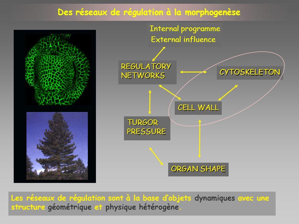 CYTOSKELETON CELL WALL REGULATORYNETWORKS ORGAN SHAPE TURGORPRESSURE Internal programme External influence Des réseaux de régulation à la morphogenèse
