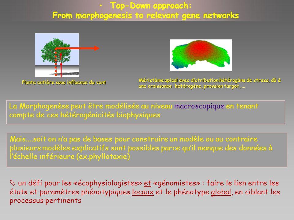 Top-Down approach: From morphogenesis to relevant gene networks La Morphogenèse peut être modélisée au niveau macroscopique en tenant compte de ces hé
