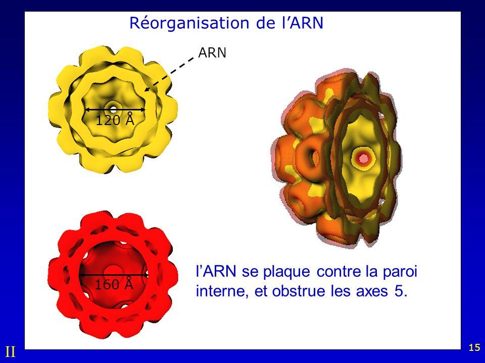 15 Réorganisation de lARN lARN se plaque contre la paroi interne, et obstrue les axes 5.