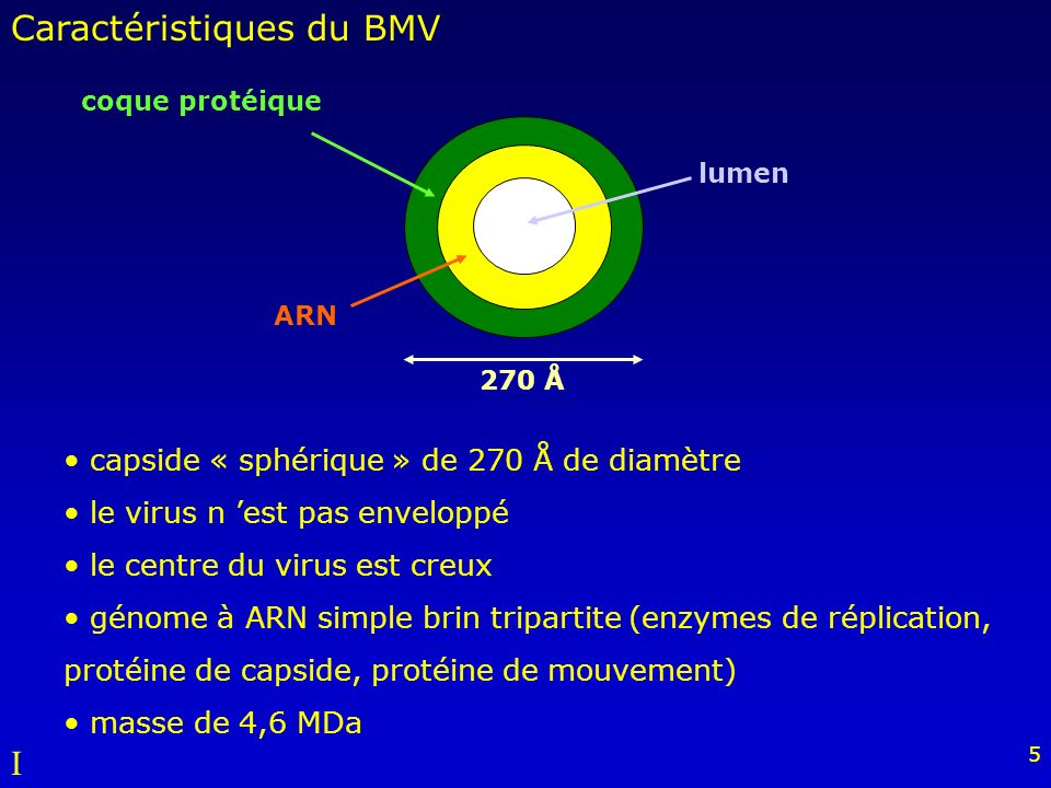 5 capside « sphérique » de 270 Å de diamètre le virus n est pas enveloppé le centre du virus est creux génome à ARN simple brin tripartite (enzymes de réplication, protéine de capside, protéine de mouvement) masse de 4,6 MDa coque protéique lumen ARN 270 Å Caractéristiques du BMV I