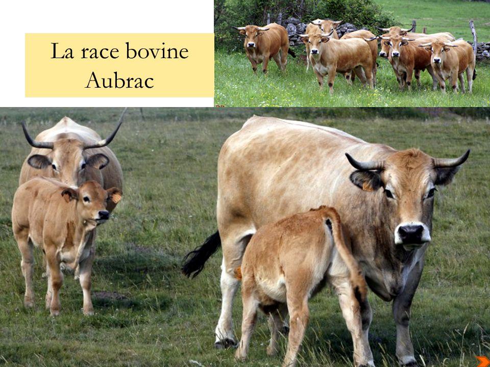 La race bovine Aubrac