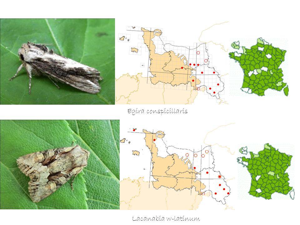 Egira conspicillaris Lacanabia w-latinum