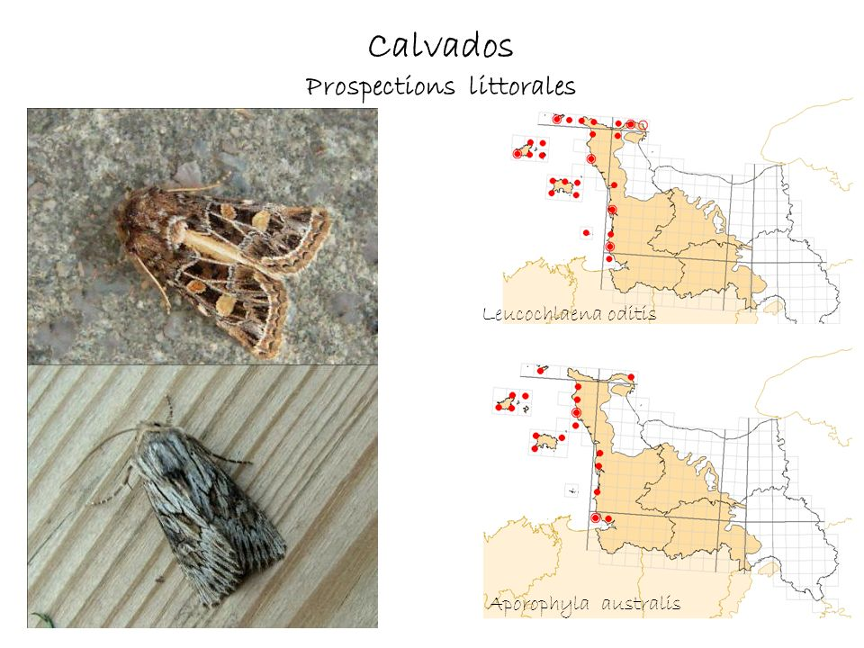 Calvados Prospections littorales Leucochlaena oditis Aporophyla australis