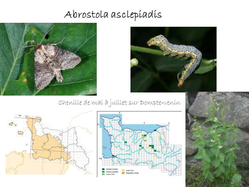 Abrostola asclepiadis Chenille de mai à juillet sur Dompte-venin