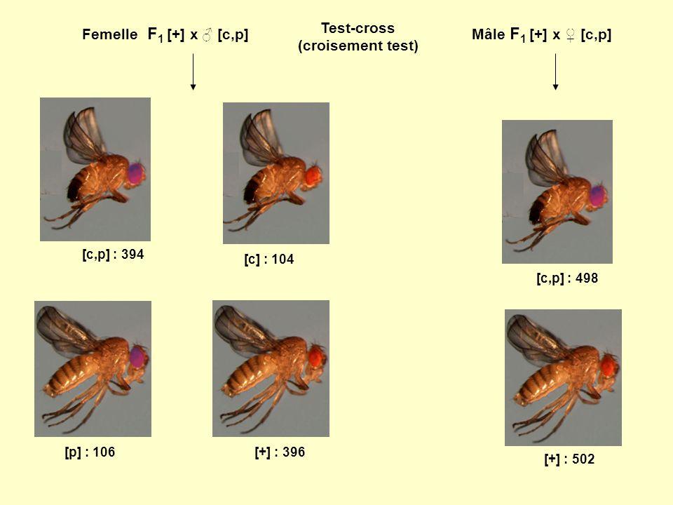 Femelle F 1 [+] x [c,p]Mâle F 1 [+] x [c,p] [+] : 396 [c,p] : 394 [c] : 104 [p] : 106 [+] : 502 [c,p] : 498 Test-cross (croisement test)