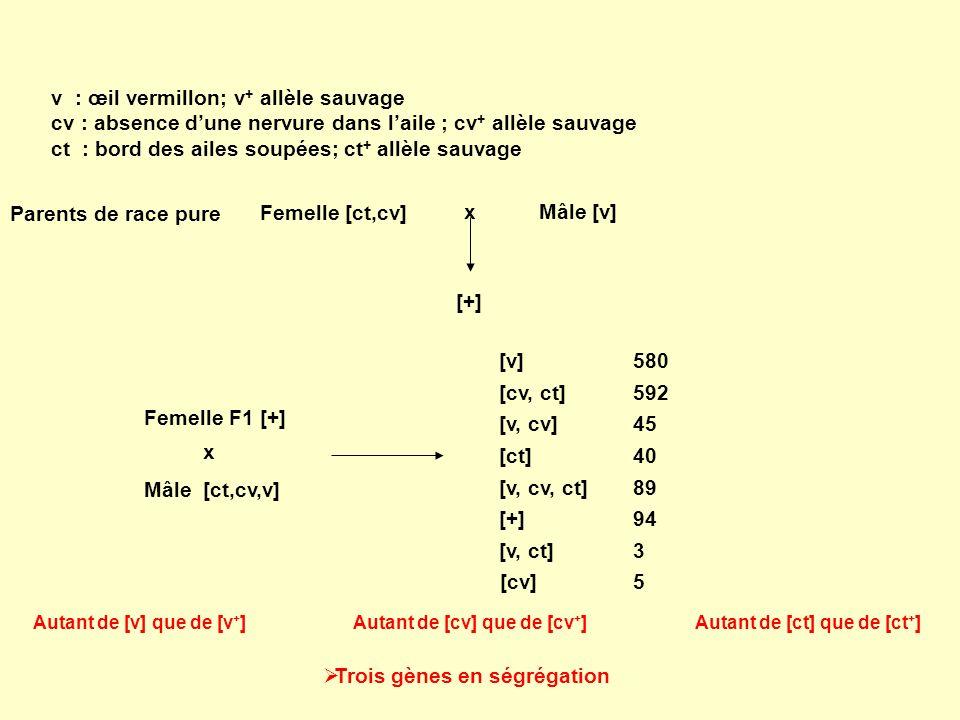 v : œil vermillon; v + allèle sauvage cv : absence dune nervure dans laile ; cv + allèle sauvage ct : bord des ailes soupées; ct + allèle sauvage Feme