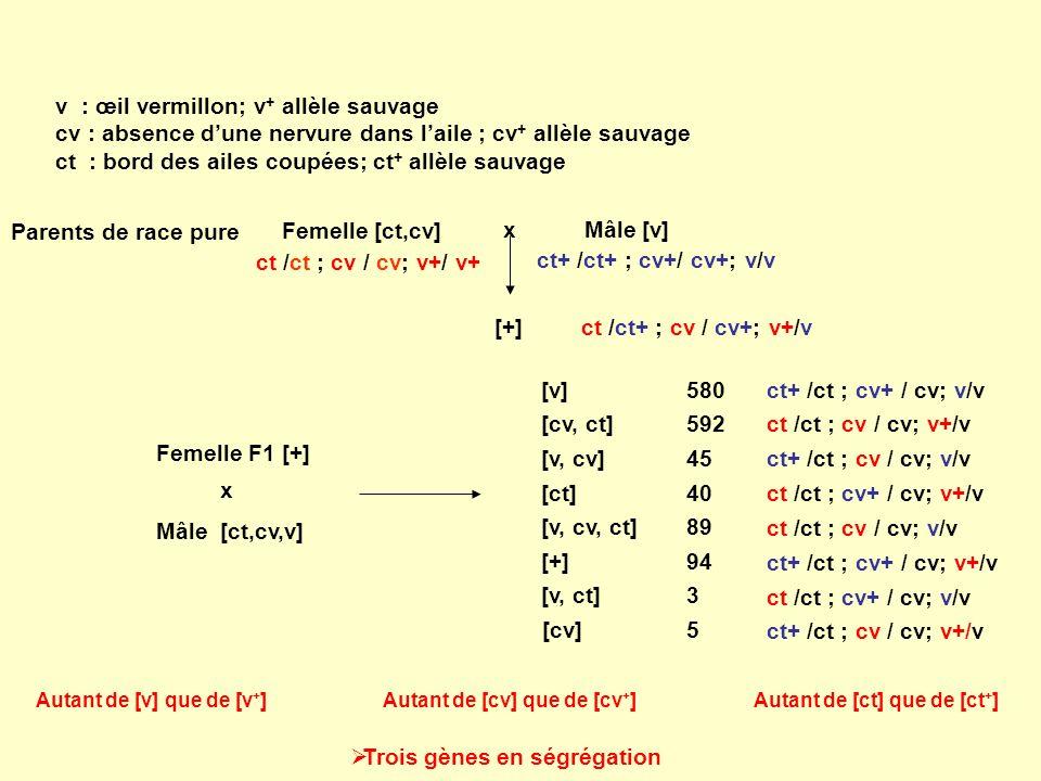 v : œil vermillon; v + allèle sauvage cv : absence dune nervure dans laile ; cv + allèle sauvage ct : bord des ailes coupées; ct + allèle sauvage Feme