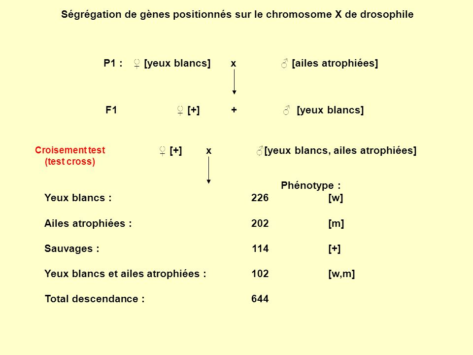 Ségrégation de gènes positionnés sur le chromosome X de drosophile P1 : [yeux blancs]x [ailes atrophiées] w/w ; m + /m + w + /- ; m/- F1 [+] + [yeux blancs] w/w + ; m/m + w/- ; m + /- [+]x [yeux blancs, ailes atrophiées] w/w + ; m/m + w/- ; m/- Phénotype : Yeux blancs : 226[w] Ailes atrophiées : 202[m] Sauvages : 114[+] Yeux blancs et ailes atrophiées : 102[w,m] Total descendance :644