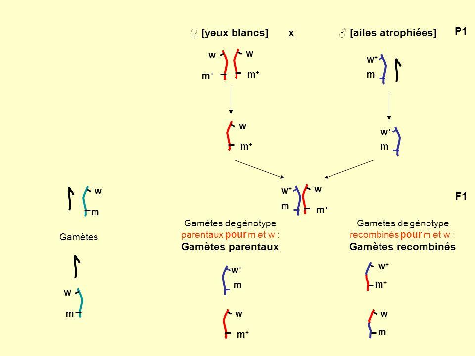 3/ La fréquence de recombinaison varie selon les gènes étudiés [spineless] : réduction des soies de la tête et du thorax : allèle s ; allèle s + [Delta] : forme des veines de laile : allèle D dominant/ d + (allèle sauvage); D létal à létat homozygote [ebony] : couleur du corps : allèle e récessif / e + (allèle sauvage).