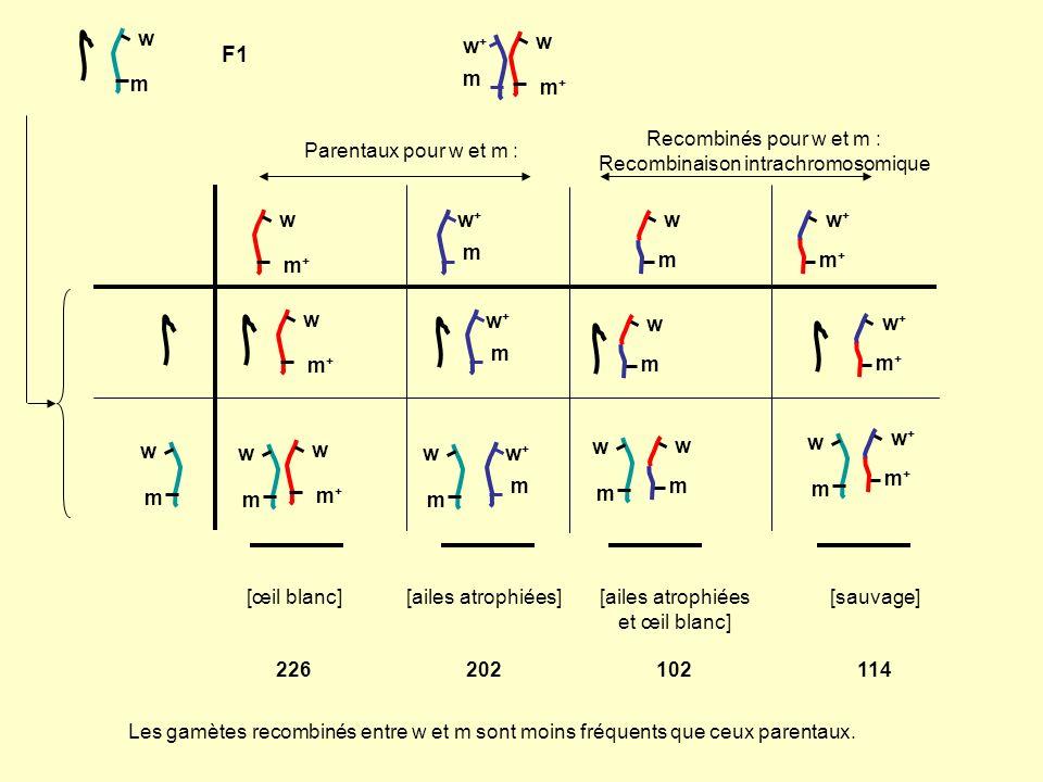 Fréquence de recombinaison: Nombre de chromatides (gamètes) recombinés (pour les marqueurs considérés) Nombre de gamètes total X 100 644 gamètes sont dorigine maternelle 114 + 102 sont recombinés entre w et m Fréquence de recombinaison = (216/644)x100 = 33,85% Dans 33,85% des méïoses de la mère, il y a un CO entre w et m.