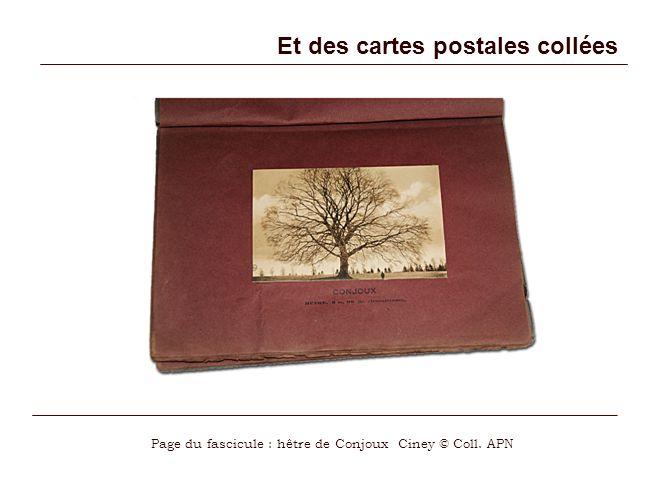 Et des cartes postales collées Page du fascicule : hêtre de Conjoux Ciney © Coll. APN