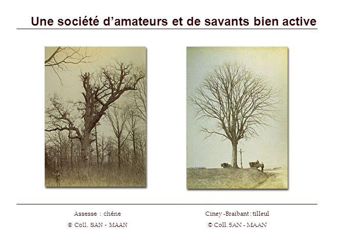 Une société damateurs et de savants bien active Ciney -Braibant : tilleul © Coll. SAN - MAAN Assesse : chêne © Coll. SAN - MAAN