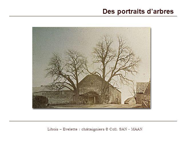 Des portraits darbres Libois – Evelette : châtaigniers © Coll. SAN - MAAN