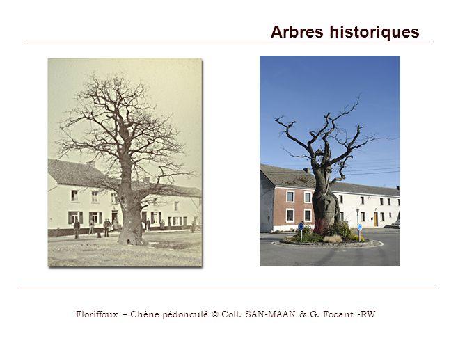 Arbres historiques Floriffoux – Chêne pédonculé © Coll. SAN-MAAN & G. Focant -RW