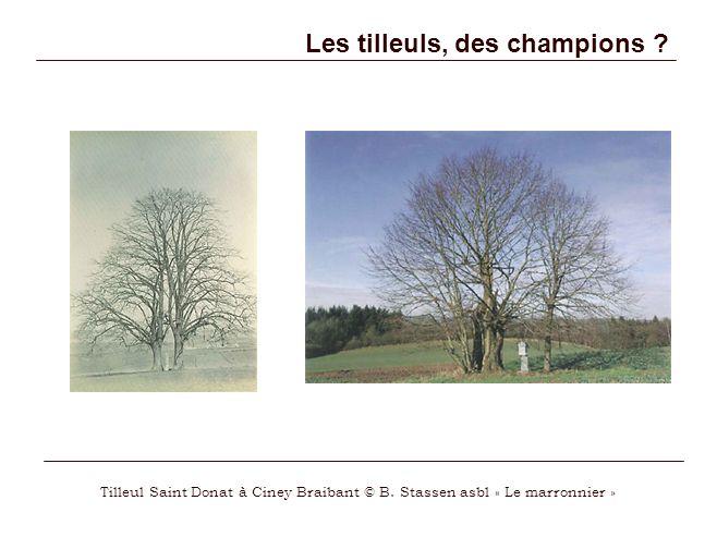 Les tilleuls, des champions .Tilleul Saint Donat à Ciney Braibant © B.