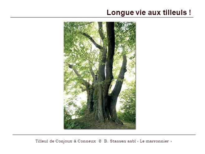 Longue vie aux tilleuls ! Tilleul de Conjoux à Conneux © B. Stassen asbl « Le marronnier »