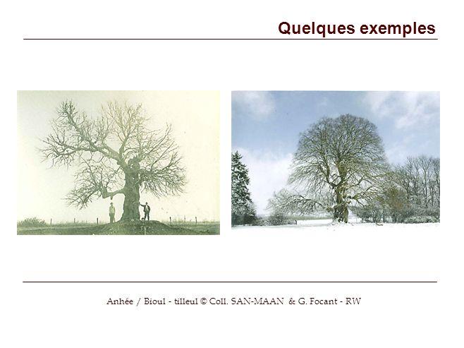 Quelques exemples Anhée / Bioul - tilleul © Coll. SAN-MAAN & G. Focant - RW