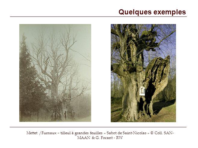 Quelques exemples Mettet /Furnaux – tilleul à grandes feuilles « Sabot de Saint-Nicolas » © Coll.