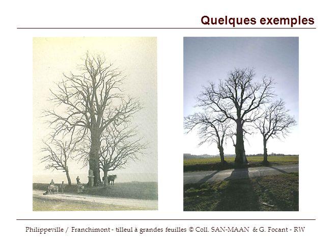Quelques exemples Philippeville / Franchimont - tilleul à grandes feuilles © Coll. SAN-MAAN & G. Focant - RW