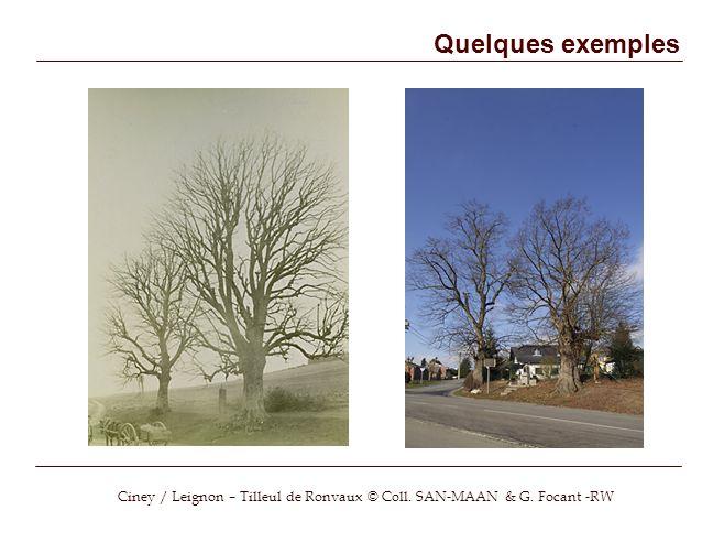 Quelques exemples Ciney / Leignon – Tilleul de Ronvaux © Coll. SAN-MAAN & G. Focant -RW